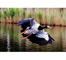 A Pie In The Sky  ~ Magpie Goose ~ Photographic Print