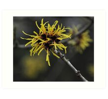 Witch Hazel Art Print