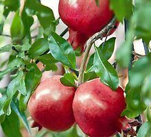 Pomegranate Ripening On It's Branch by Kuzeytac