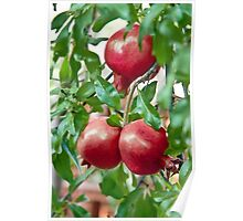 Pomegranate Ripening On It's Branch Poster
