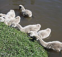 Cygnets- Baby Black Swans by desley55