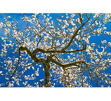 Almond Blossum inspired by Vincent van Gogh Photographic Print