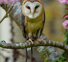 European Barn owl in a cherry tree by Dave  Knowles