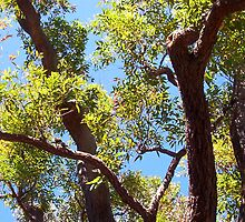Kookaburra In A Great Tree - 10 11 12 by Robert Phillips