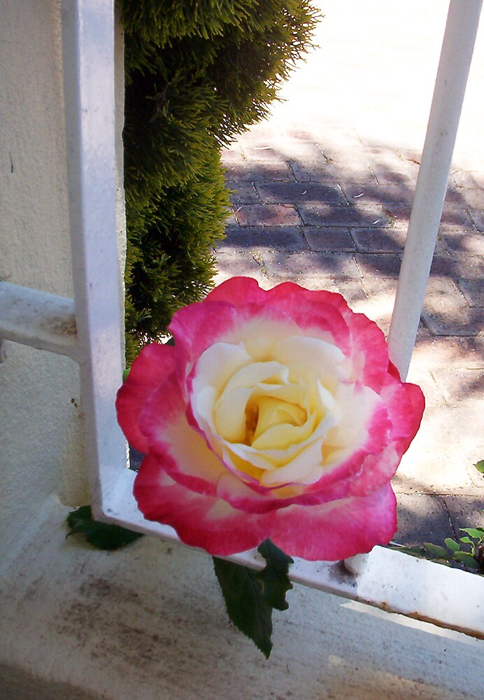 Rose One - 10 11 12 by Robert Phillips