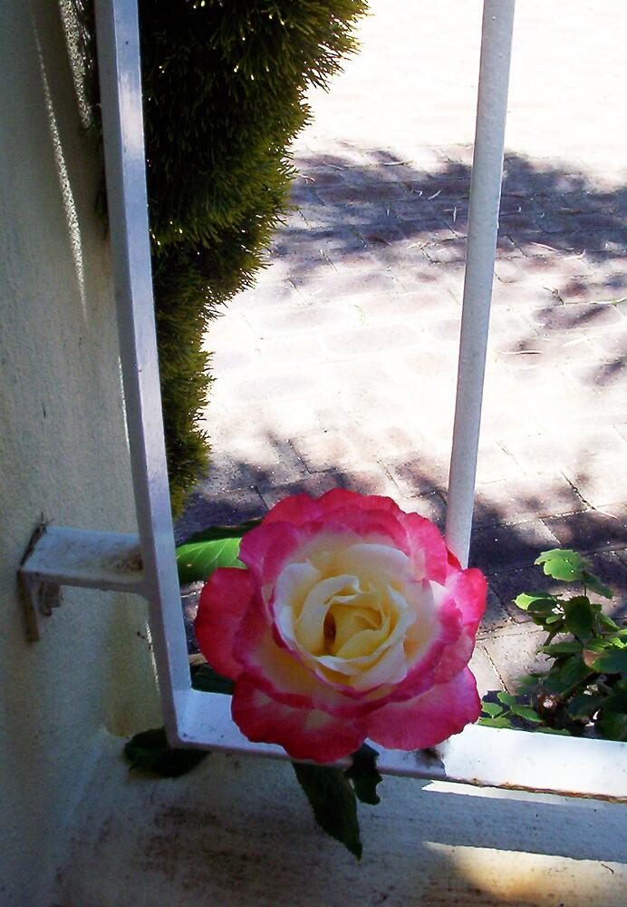 Rose Three - 10 11 12 by Robert Phillips
