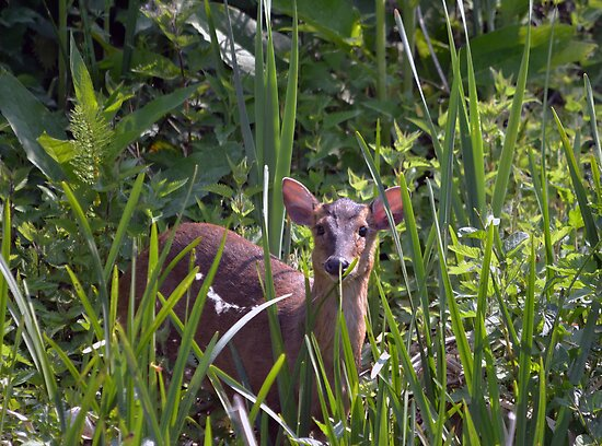 Muntjac Doe by Nigel Bangert