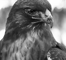 HAWK by heatherfriedman