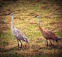 Sandhill Cranes by Christine Ertl