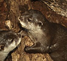 Otters  by Steve