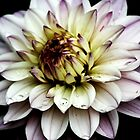 Water Lily Dahlia by shane22