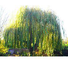 Elegant Willow Photographic Print
