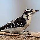 Downy Woodpecker by Gregg Williams