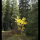 single yellow aspen by Paul Simms