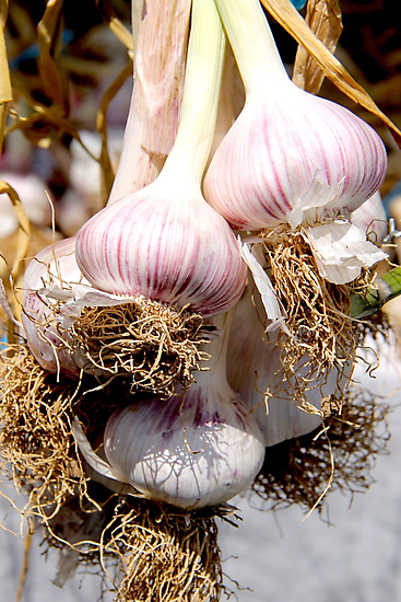 Garlic by Janie. D