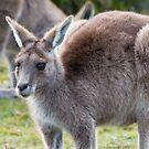 Grazing Kangaroo by Will Hore-Lacy