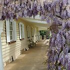 Woolmers Wisteria in Tasmania - A World Heritage Listed Site by Wendy Dyer