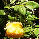 Mother&#x27;s Yellow Upside-down Rose - 11 11 12 by Robert Phillips