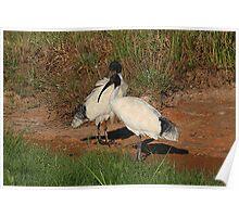 Mawson Lakes Ibis....Mates Poster