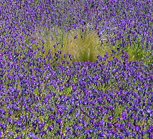 Purple Meadow by Walter Quirtmair