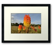 Group of Red Hot Pokers Framed Print