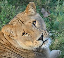 Lioness looking towards camera by Pauws99