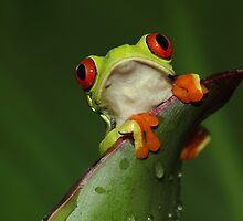 Red-eyed Treefrog by Jirina Bilkova