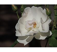 Rose (8410) Photographic Print