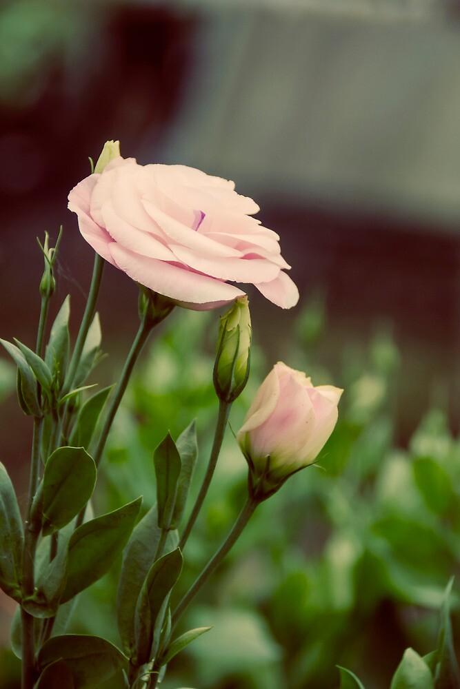 Pink Delight by Carol Knudsen