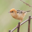 Sisticola  by Christopher Clarke
