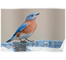 Bluebird at the Birdbath Poster