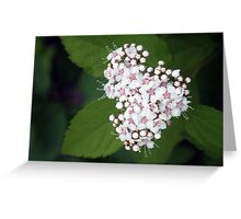 Spiraea beauverdiana Greeting Card