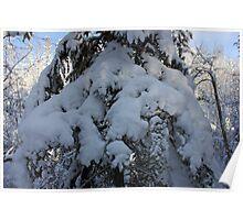 Snow-laden Evergreen Tree Poster