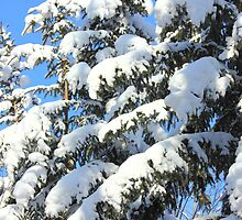 Snow on Evergreens by Jim Sauchyn