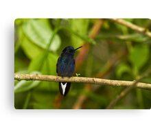 Hummingbird 11 Canvas Print