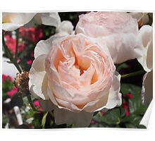 rose - pink apricot Poster