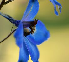 Blue Delphinium  by Neutro