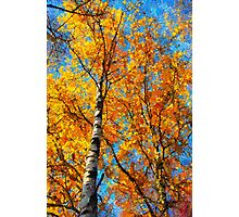 yellow birch Photographic Print