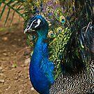 Peacock----- St Anton Gardens by Edwin  Catania