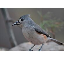 Tufted titmouse with a sunflower seed Photographic Print