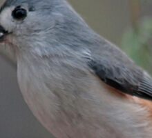 Tufted titmouse with a sunflower seed Sticker