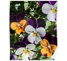 Violas - purple. orange,white Poster