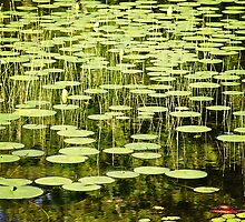 Water lily explosion...photo by Robert Skelly, added by axieflics