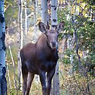 Curious Moose Calf by A.M. Ruttle
