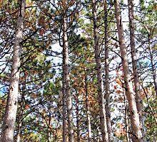 Pine Trees, Dunrobin Ontario by Debbie Pinard
