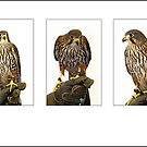 Wilson the Rare & Endangered New Zealand Falcon by Robyn Carter