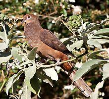 Brown Cuckoo-dove by Robert Elliott