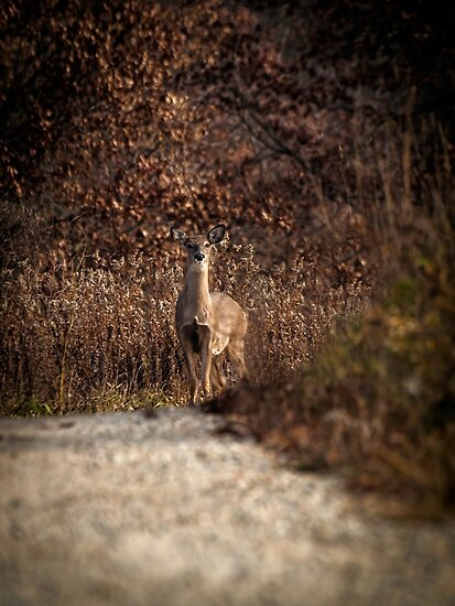 Autumn Whitetail Doe by Thomas Young