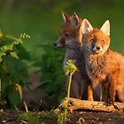 Red Fox by DamianK