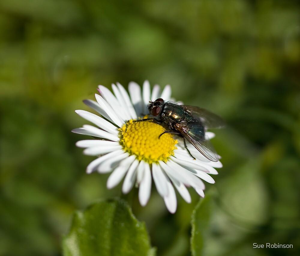 Fly on daisy by Sue Robinson